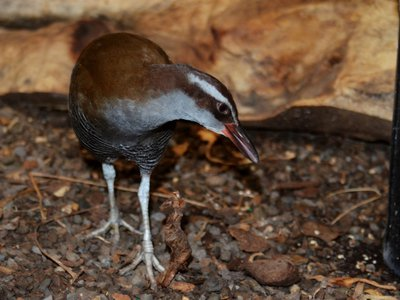 Tasi is a 4-year-old Guam rail and a marvel, considering that just a few decades ago his species nearly disappeared.