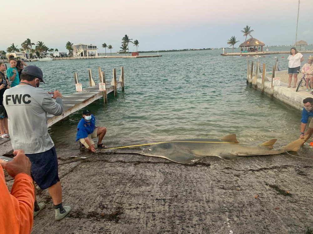 Researchers measure the 16-foot sawfish at a boat landing in Florida while visitors watch and take pictures from docks