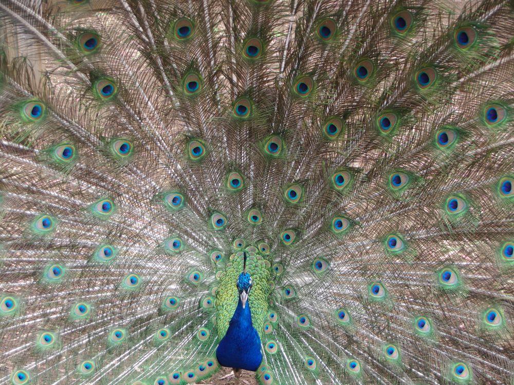 03_12_2014_peacock.jpg