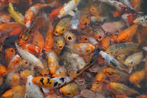 Koi frantically compete for food at the Royal Palace in Hue, Vietnam. thumbnail