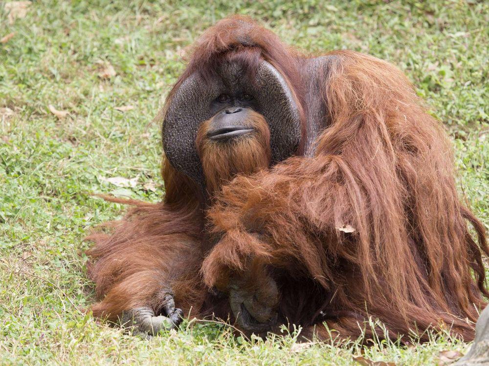 orangutan_chantek_ZA_8810.jpg