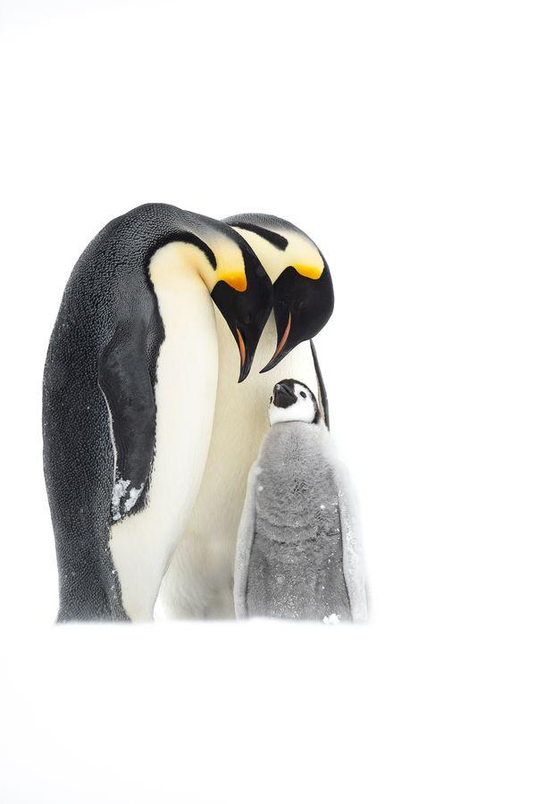 Emperor Penguin Parenting thumbnail