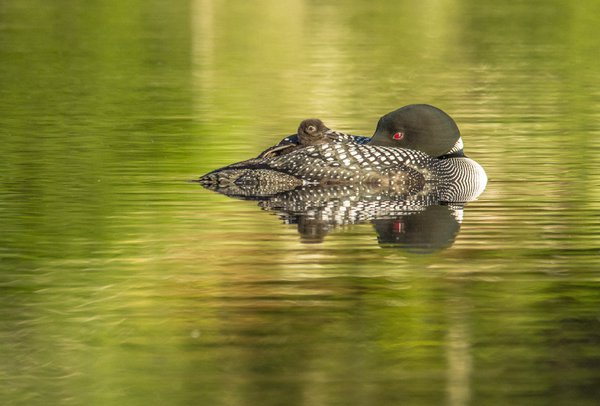 Loon with Chick Napping 180626-56 thumbnail