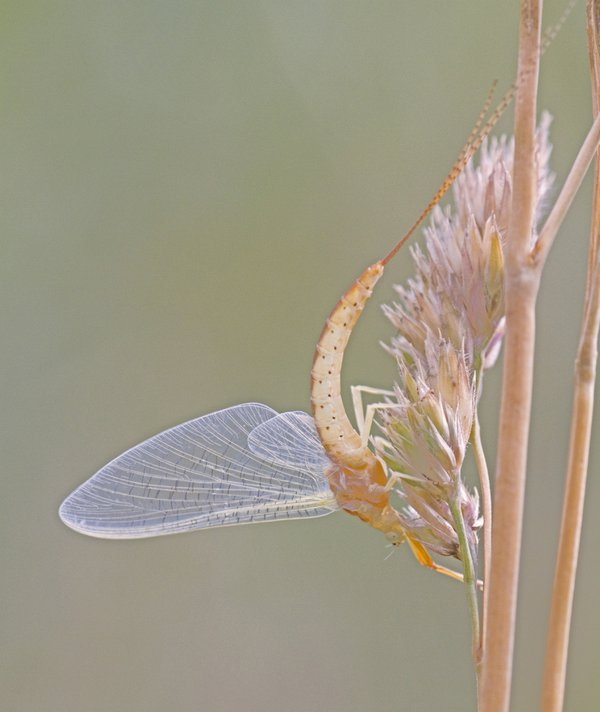 Emerging Danish Mayfly, Ephemera danica thumbnail