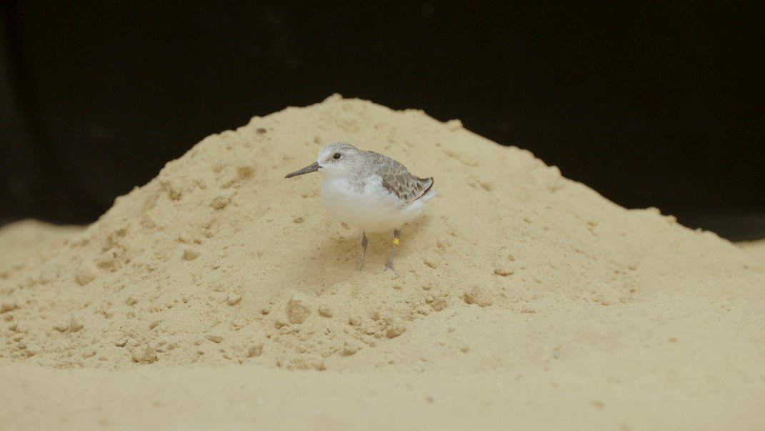 A small shorebird, called a sanderling, stands in a mound of sand at the Smithsonian's National Zoo.