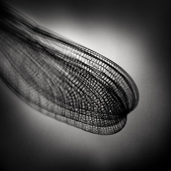 Wings of a Damselfly thumbnail