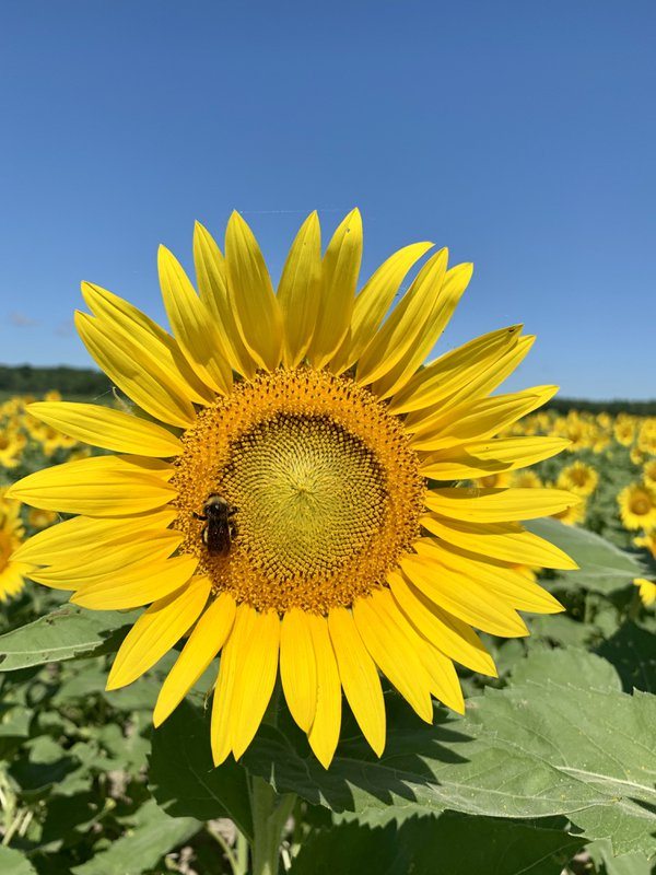 Sunflower Fields at Columbia Bottoms MO thumbnail