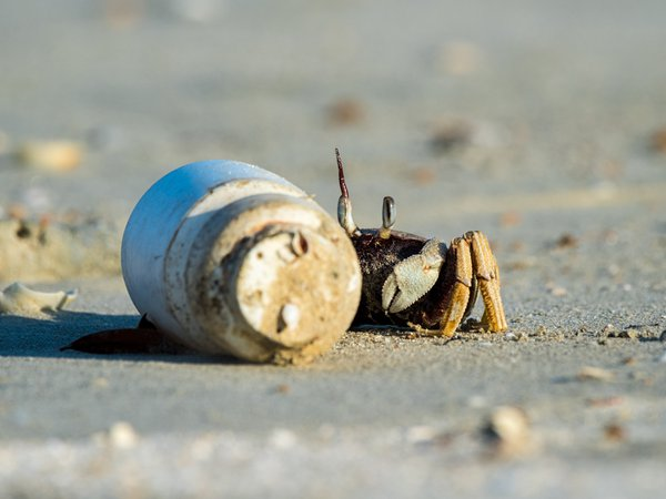 a shy crab thumbnail