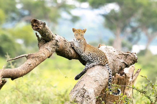 Young Leopard in Repose thumbnail