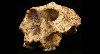 Anthropologists recently found fossils of Paranthropus robustus, also called robust australopithecines, in an excavation site in South Africa. Paranthropus coexisted with human ancestors Homo habilis and Homo erectus as recently as 1.5 million years ago. Some anthropologists had believed that Paranthropus' limited diet caused its extinction, but new evidence from the fossils suggests that Paranthropus had a varied diet that included both hard and soft plants as well as herbivores.