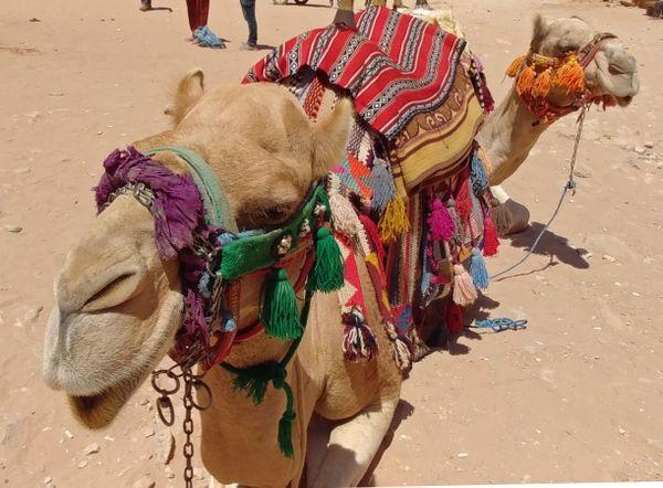 Petra Camels thumbnail
