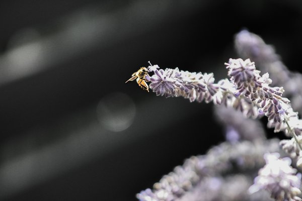 Lavender Bee thumbnail