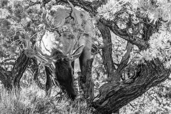 Elk in the Brush thumbnail