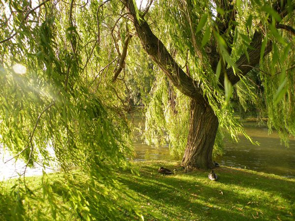 Wind in the Willow thumbnail