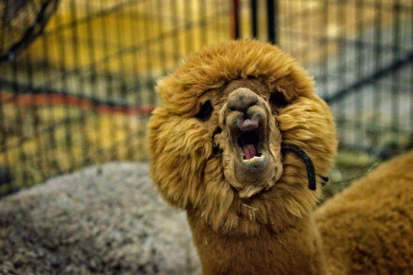 Alpaca show thumbnail