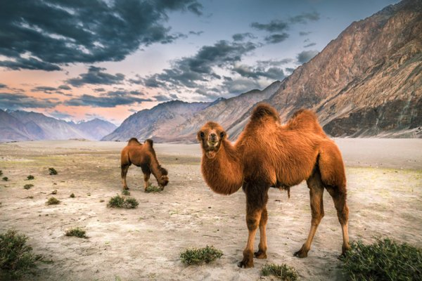 A Bactrian camel in Nubra Valley, Leh, India thumbnail