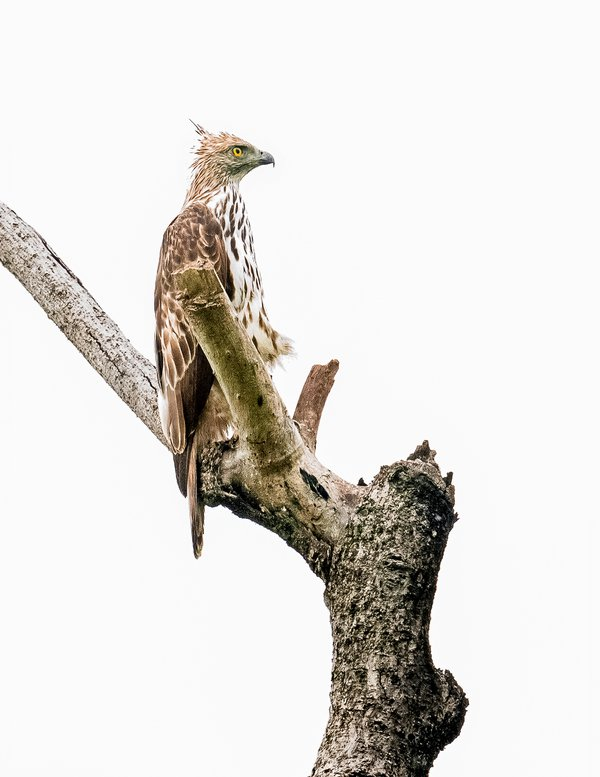 Changeable Hawk- Eagle waiting for it prey thumbnail