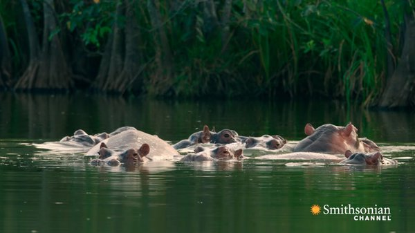 Preview thumbnail for Pablo Escobar's Hippos Have Created an Ecological Crisis in Colombia
