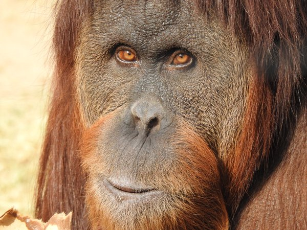 Eye contact with orangutan thumbnail