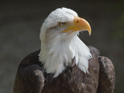 Bald eagle populations have been steadily recovering since their all-time low in the 1960s when fewer than 500 nesting pairs were left.