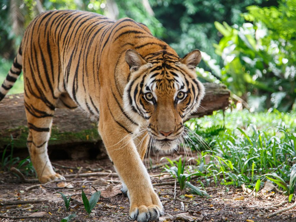 A Malayan tiger like this one was diagnosed with COVID-19 at the Bronx Zoo.