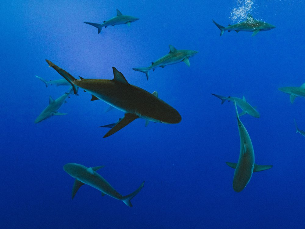 A shiver, or group, of 13 sharks swims in the open ocean. The water is clear and bright blue, and the sharks