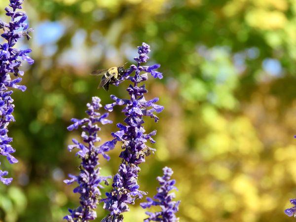 Bee Alighting on Purple Flower thumbnail