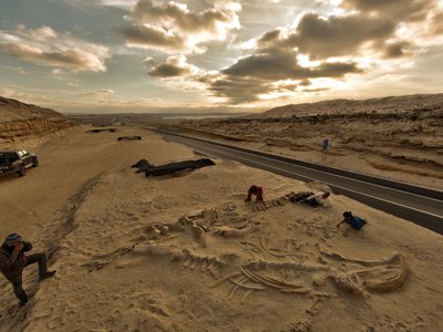 Fossil whale skeletons, evidence of an ancient mass stranding of the animals, discovered during the building of the Pan-American Highway in the Atacama Region of Chile in 2011.