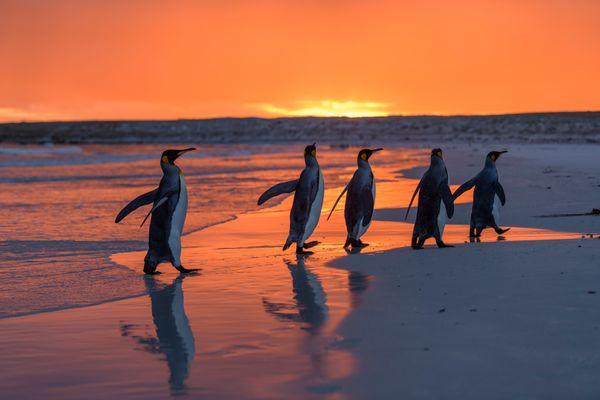 King penguins thumbnail