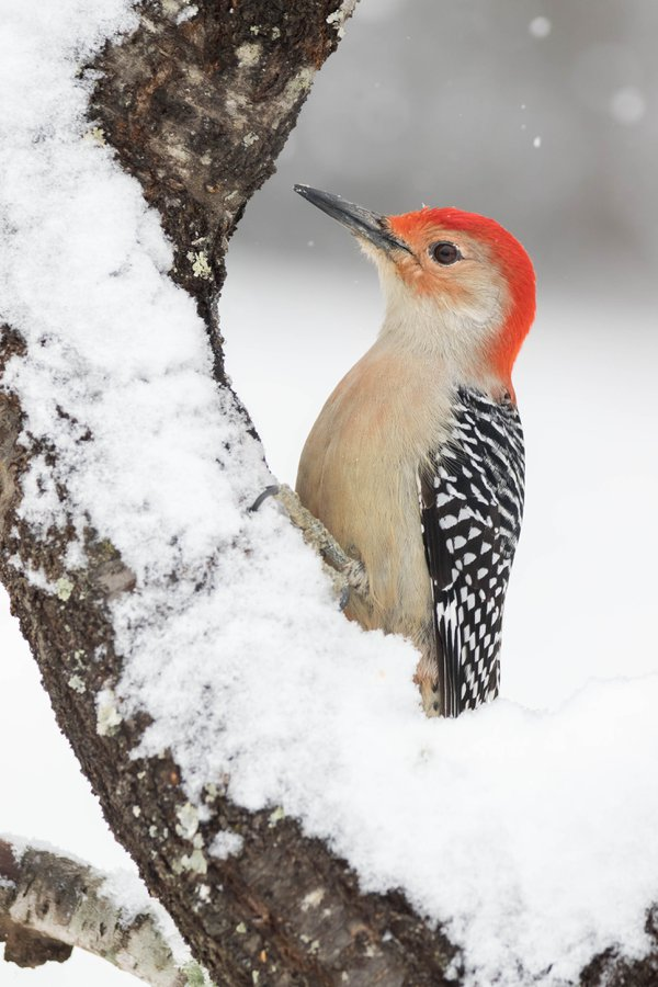 Red-bellied Woodpecker in Snow thumbnail