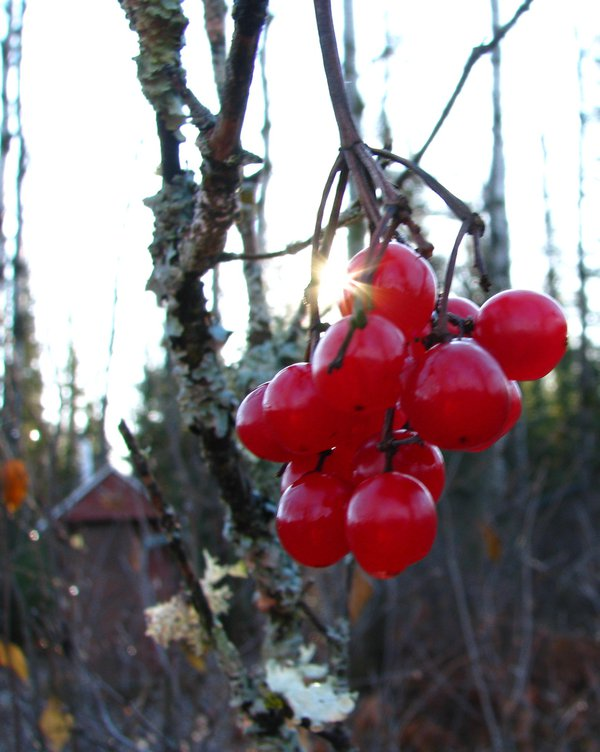 Sun warming late fall high bush cranberries thumbnail