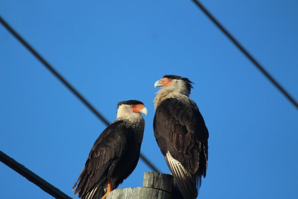 Crested Caracaras in Micco, Florida thumbnail