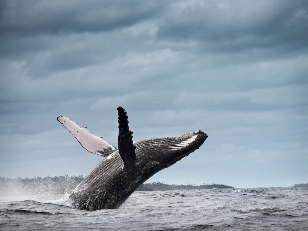 A humpback whale breaches, showing its pectoral fins.