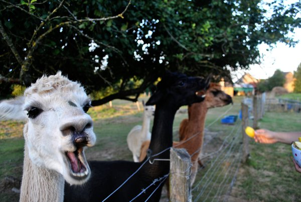 Alpacas at dinner time. thumbnail