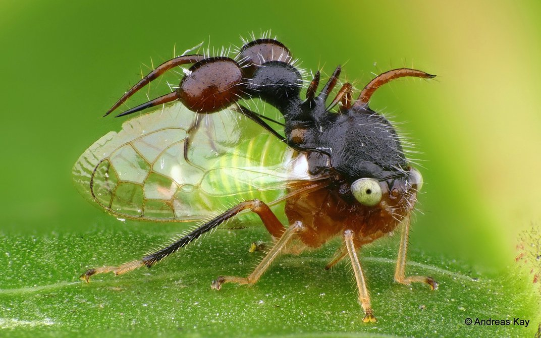 Treehoppers' Bizarre, Wondrous Helmets Use Wing Genes to Grow