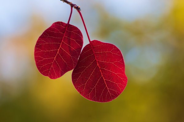 Red leaves in a autumn forest thumbnail