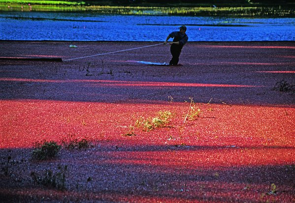 Man harvesting cranberries in a bog near Cape Cod. thumbnail