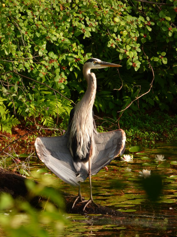 Heron drying its feathers thumbnail