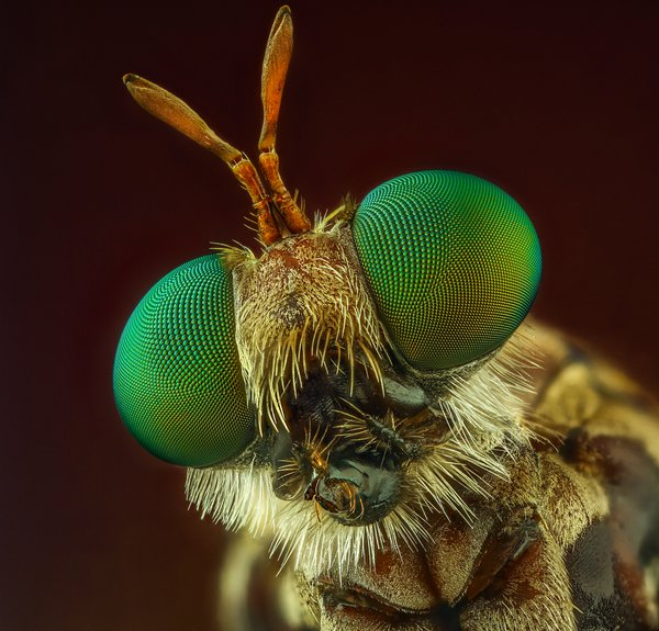 Eyes Robber Fly thumbnail
