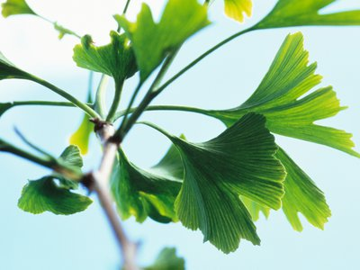 The ginkgo biloba or Maidenhair tree has been around for at least 270 million years, making it the botanical equivalent of the shark.