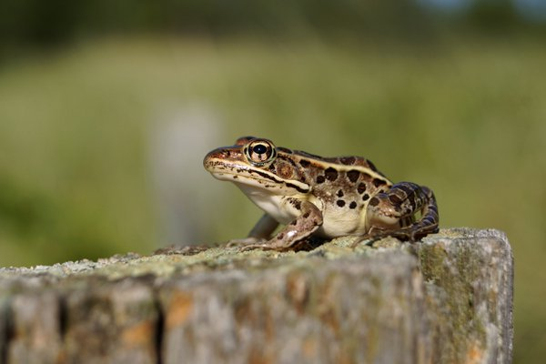 Leopard Frog thumbnail