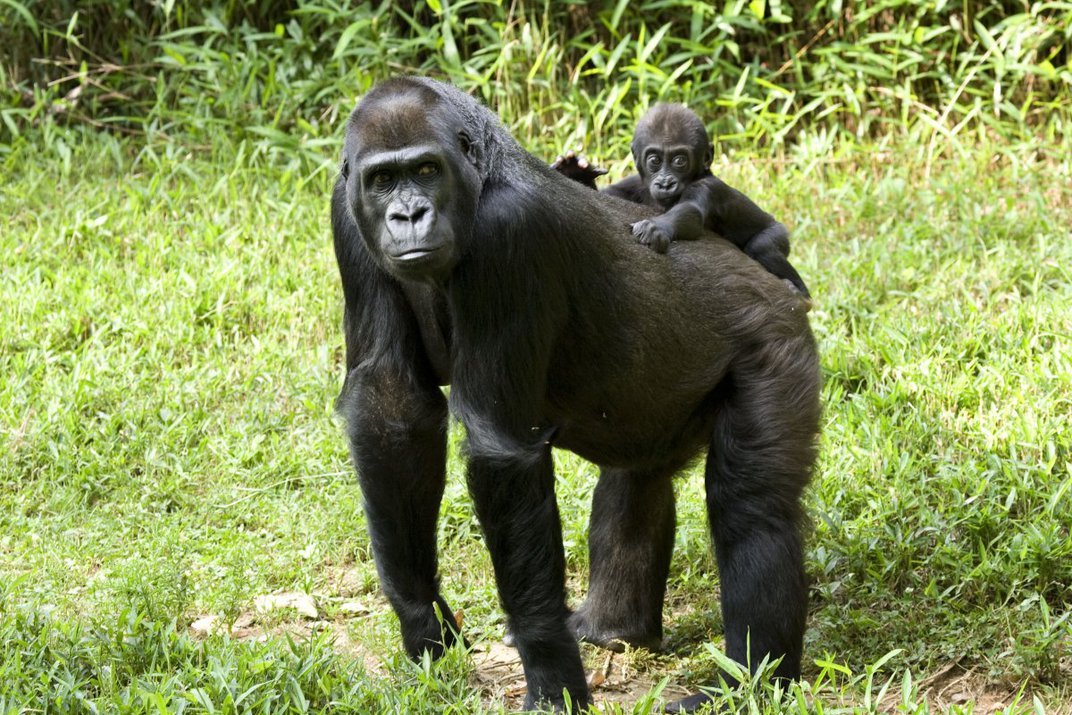 Mandara is a western lowland gorilla who lives at the Smithsonian Zoological Park. She is an excellent mother.