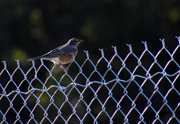 American Robin on Fence thumbnail