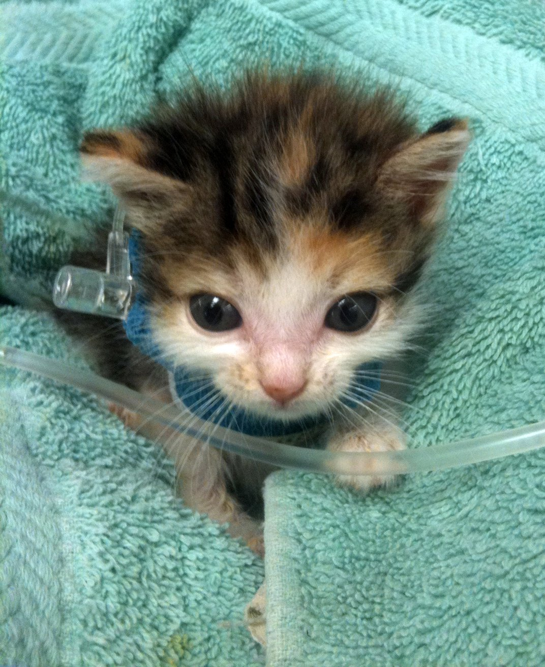 This Tiny Kitten Presented To My Clinic Very Hypoglycemic And Thus Needed To Stay For Some Iv Fluids With Dextrose He Tolerated Treatment Very Well Despite His Jugular Catheter Smithsonian Photo