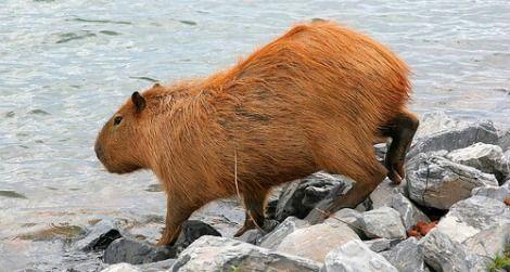 A wild capybara by a lake in Brazil