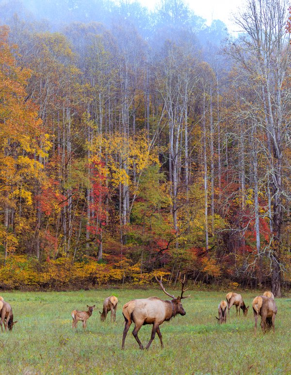 Elk in the Great Smoky Mountains during the fall rut thumbnail