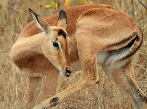 Female Impala enjoying a morning scratch thumbnail