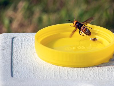 Agricultural officials in Washington state said Friday, Oct. 2, 2020 they are trying to find and destroy a nest of Asian giant hornets believed to be near the small town amid concerns the hornets could kill honey bees crucial for pollinating raspberry and blueberry crops.