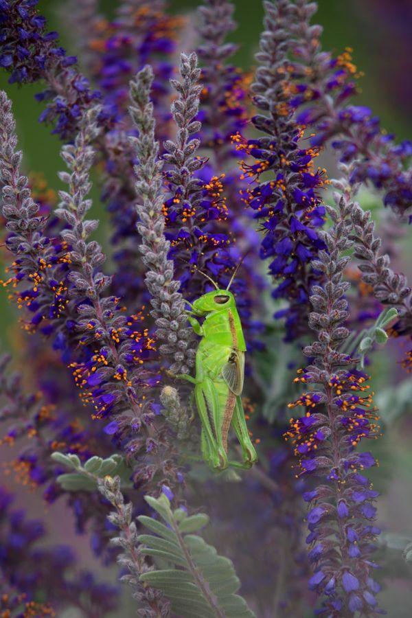 Green Grasshopper thumbnail