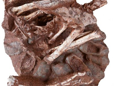 The recently recovered oviratorosaur fossil found in southern China is missing its skull and part of its vertebrae, but remarkably, the nest of 24 oval-shaped eggs were well-preserved.